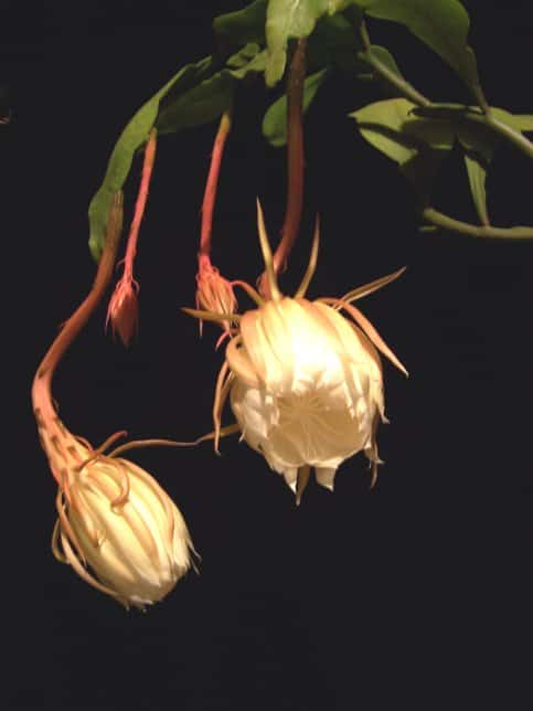 Dutchmans Pipe Cactus - Lovely Flowers Which Bloom Only At Night