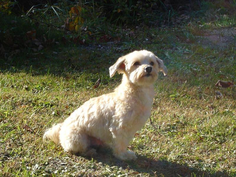 Havanese dog - Best Small Dog Breeds for Kids