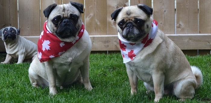 two cute pug dogs