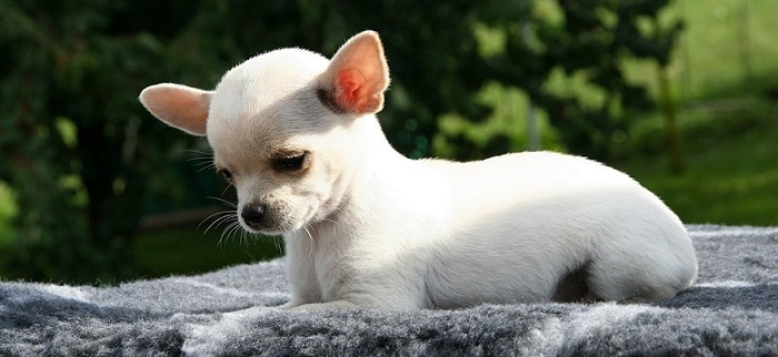 A white chihuahua puppy - Best Small Dog Breeds for Kids