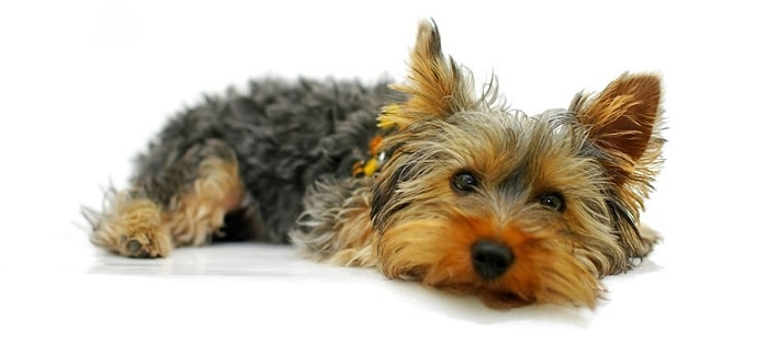 a cute Yorkshire terrier dog sitting on the floor